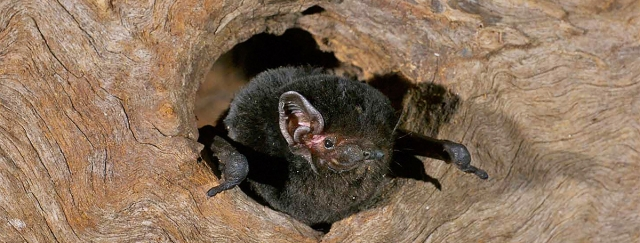 Banner Goulds Wattled Bat Les Hall 2
